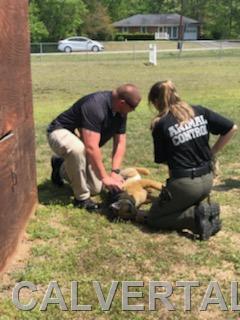 Calvert Animal Control Officers practicing lifesaving K9 intervention skills.